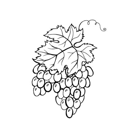 Vector monochrome illustration of grapes   isolated on white background.