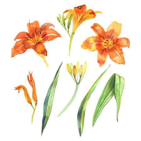 Watercolor illustration of orange lily, isolated on white background 写真素材
