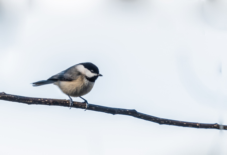Black caped Chickadee perched on a branch