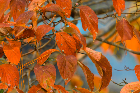 Fall color of NC. simple photo of the color of leaves in late fall in North Carolina.