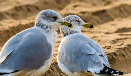 Seagulls on the beach in Nags Head North carolina on a January morning at the Outer Banks, US