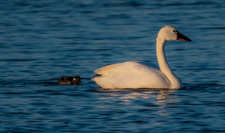 beautiful Swan Photo taken at the Pea Island National Wild Life Refuge in the Outer Banks North Carolina