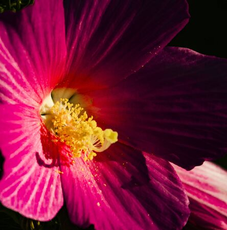 In Jew Jersey, Down in the Meadowland, across the Hudson River from NYC, the Swamp Rose Mallow grows in abundance.