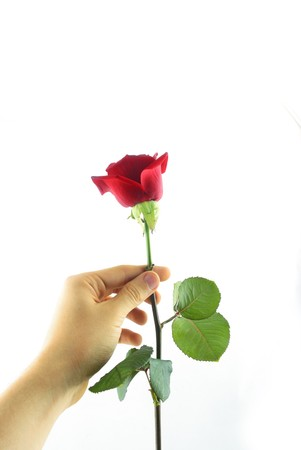 rose in hand  photo