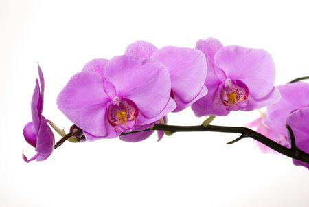 phalaenopsis: pink orchid 2