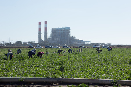 Field workers busy picking produce  These workers could be legal immigrants or illegal  They are picking cilantro in front of a power plant along the Pacific Coast  Editorial
