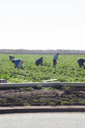 6 field workers busy picking produce  These workers could be legal immigrants or illegal  Editorial