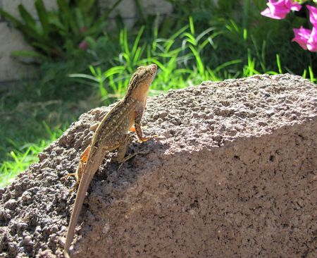 This is a lizard catching some sun on a rock