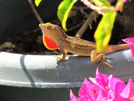 Lizard sitting on the rim of a pot showing his gular beard