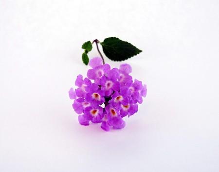 tiny purple flower lantana flowers isolated on a white background Stock Photo