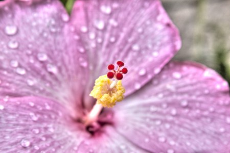 Hibiscus Flower with water droplets in High Dynamic Range