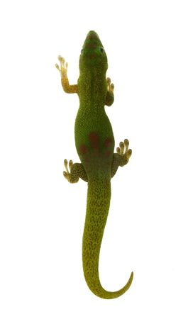 Madagascar Day Lizard - top view - isolated on white Stock Photo