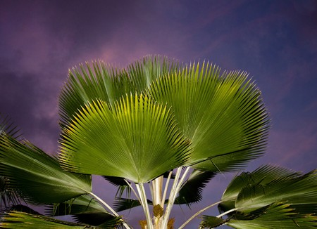 Fan palm at night with purple sky