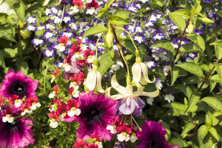 Mixed flowers of petunia and fuchsia Stock fotó