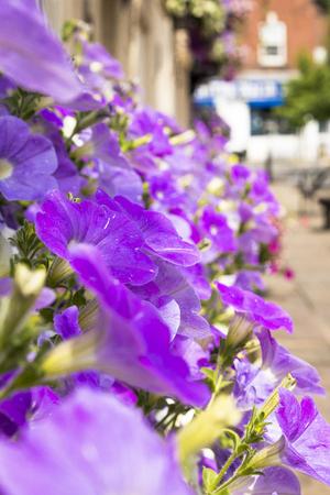 horticultural: Petunia  flowers