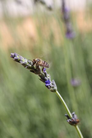 Bee on a lavender stalk