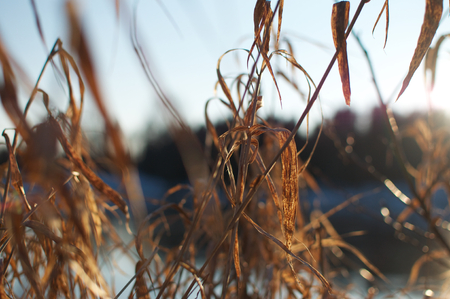Grasses in the sun light Standard-Bild
