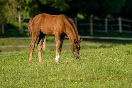 Brown foal with white socks in a pasture lined with a fence.