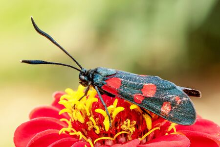 Butterfly with red dots on a red flower. Macro shot with blurred background.