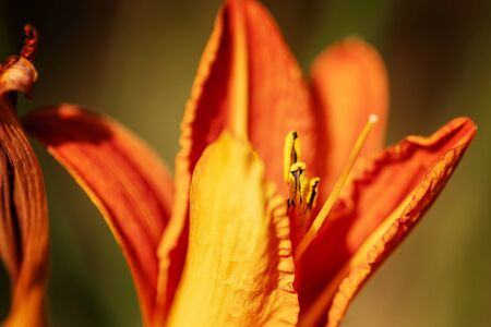 Red yellow lily in the garden. Close-up. Blurred background. Stock Photo