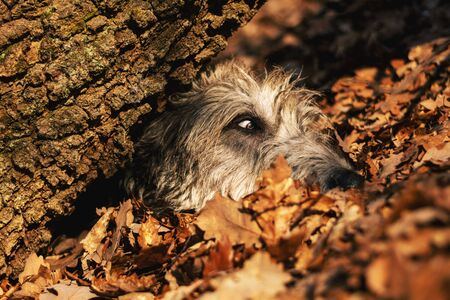Irish Wolfhound. A big gray dog ​​playing hide and seek in an autumn forest. Stock Photo