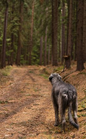 Irish Wolfhound. Giant gray dog ​​on a forest path.