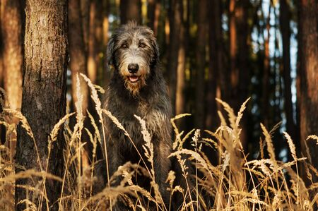 Irish Wolfhound. A big gray dog ​​sitting on the edge of a forest with high grass in front of him.