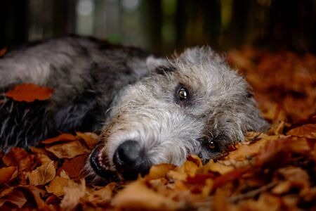 Irish Wolfhound. A big gray dog ​​lying in a falling foliage.