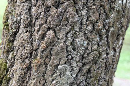 Oak tree, brown bark pattern, texture of wood. Afternoon oak forest Banco de Imagens