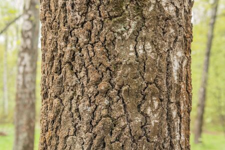 The bark of the birch, the tree for the texture of the forest, in the daytime is removed. Background. made in the forest
