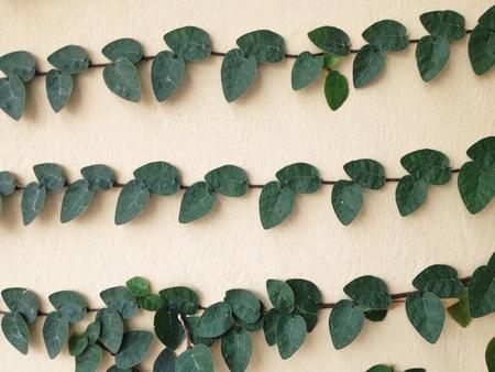 Climbing fig on wall Stock Photo