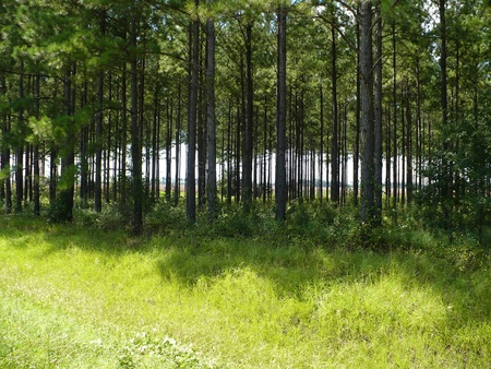 Pine trees and grass