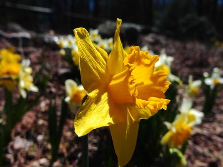 Daffodil closeup in focus