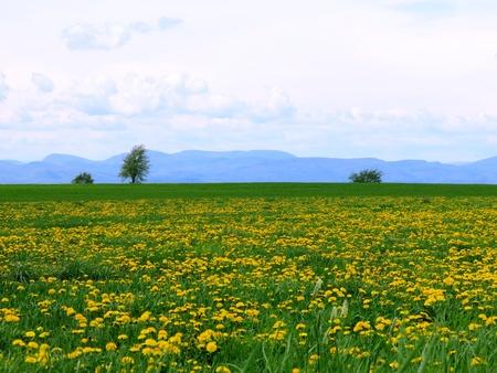 Champlain Valley Dandelions on green grass  Banco de Imagens