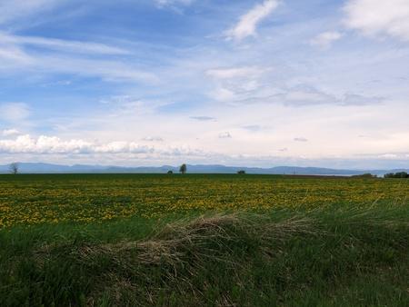 Green fields with Dandelions  and blue sky Stok Fotoğraf