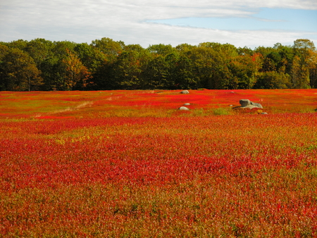 Red grass in late autumn Down East ME