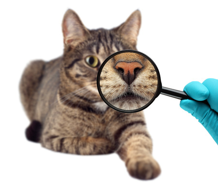 cat eye: Cat and magnifying glass. Veterinarian doctor making check-up of a cat.