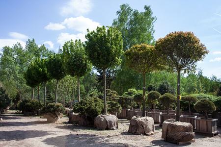 삼 베 루트 공을 이식 준비가 된 나무들 스톡 콘텐츠