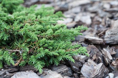 enebro: Elemento del primer del diseño del paisaje. Juniper en el fondo de una corteza de árbol.