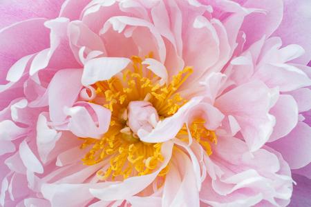 Peony flower close-up.