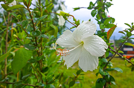 flowers of White hibiscus after rain guards  photo