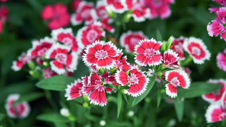 serrated: Closeup Butterfly is a flowering plants with beautiful serrated flower petals Flowers range in color white, pink, red.
