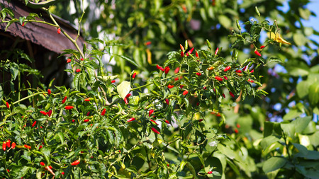 Red chili pepper plant on green background. photo
