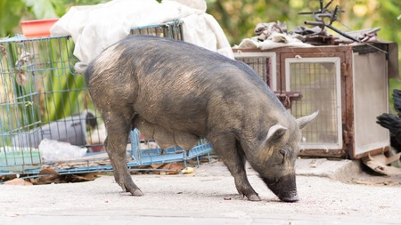 pastureland: Black pig resting on the floor. Stock Photo