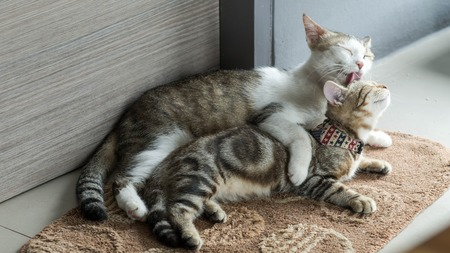 purr: cute tabby kitten playing with each other