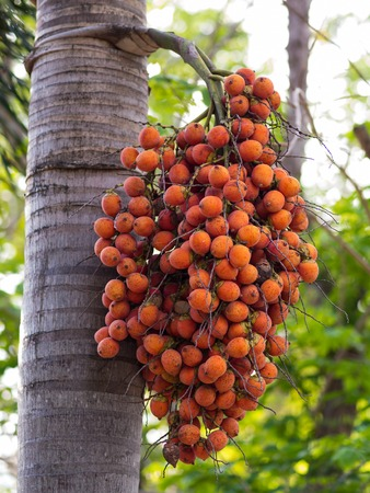 Red  Ripe Arecanut palm, Betel nut palm photo