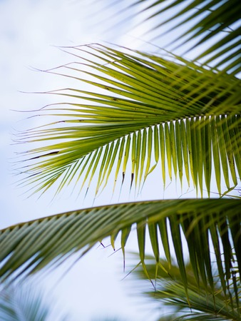 coconut leaves palm tree on sky  background