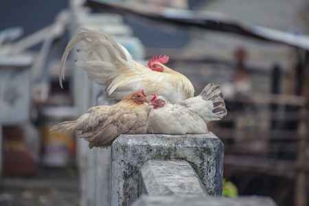 relies: White chicken relies on a hill in Phuket, Thailand.