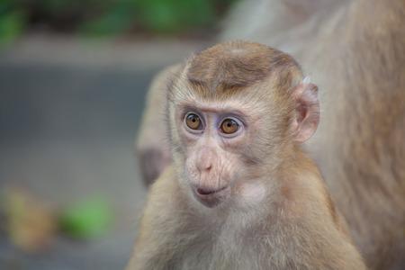 laughable: Little Monkey Baby Monkey Mountain( toh-sae Mountain) in Phuket, Thailand.