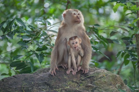 laughable: Monkey baby and mother Monkey Mountain( toh-sae Mountain) in Phuket, Thailand.